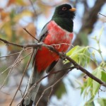 Elegant Trogon in Corral Canyon Patagonia Mountains by Laurens Halsey May 2014