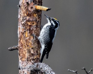 American Three-toed Woodpecker by Ron Knight