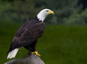 Bald Eagle by Brian Scott