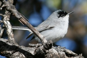 Black-capped Gnatcatcher by Tom Benson