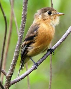 Buff-breasted Flycatcher by Dominic Sherony