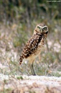 Burrowing owl by Jurgen Lison