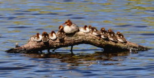 Common Merganser by Blake Matheson