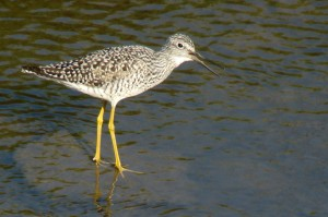 Lesser Yellowlegs by Maggie Smith