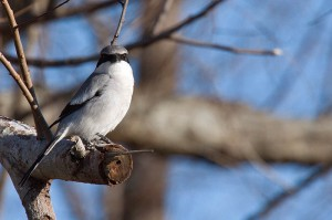 Loggerhead shrike by Dale Hichens