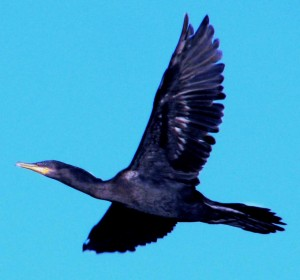 Neotropical Cormorant by Gustavo Duran