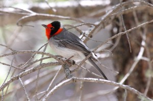 Red-faced Warbler by Dominic Sherony