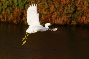 Snowy Egret by Don McCullough