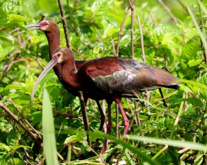 White-faced Ibis by Michael McCarthy