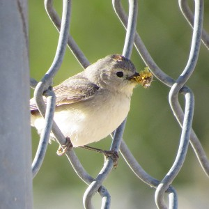 Lucy's Warbler by Don Faulkner