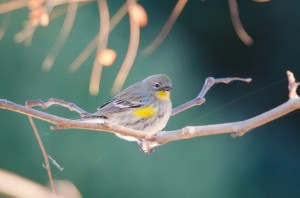 Audubon's Warbler by Franco Folini