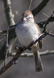 Rufous-winged Sparrow by Len Blumin