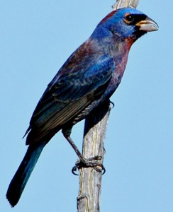 Varied-Bunting by Jim Prudente
