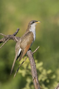 Yellow-billed Cuckoo by Larry Smith