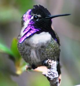Costa's Hummingbird by Desert Vu