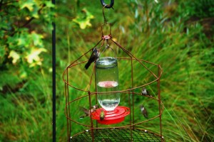 Hummingbirds at Southwest Research Station Chiricahua Mountains