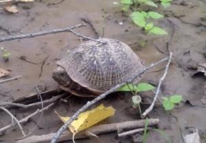 Box Turtle along Lower San Pedro