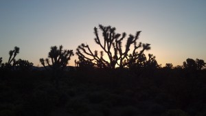 Sunrise over the Joshua Trees by J. MacFarland