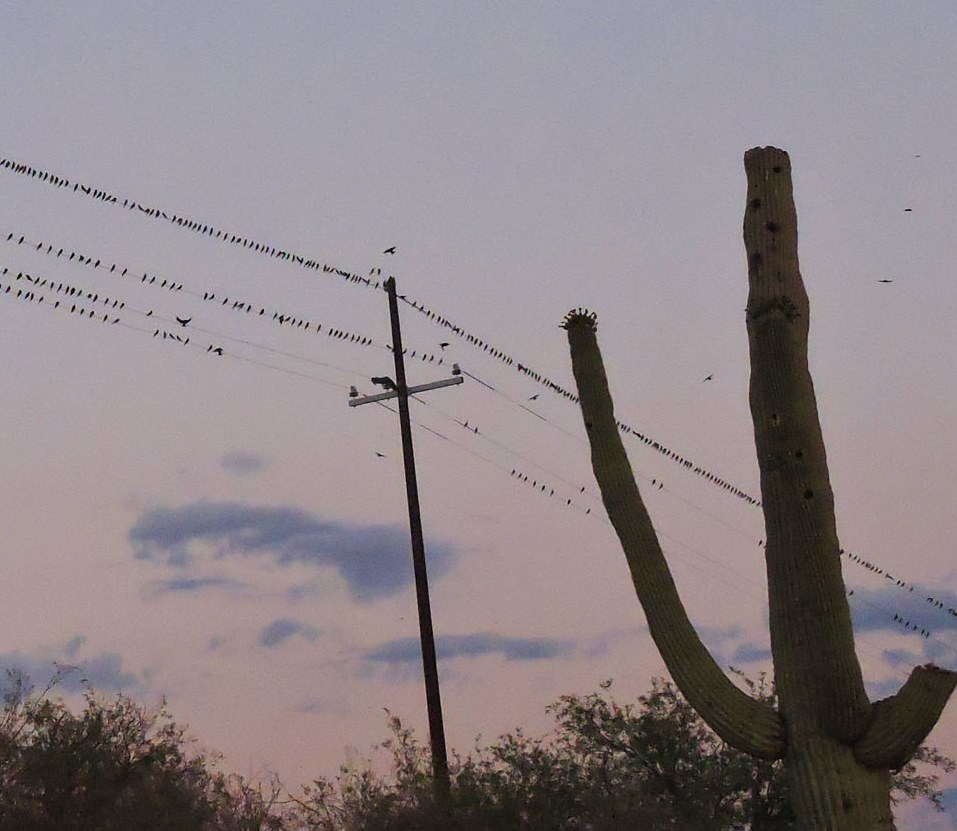 Purple Martins on Wire and Saguaro by David Bygott