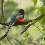Elegant Trogon male by Julio Mulero