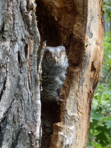 Flammulated Owl chick at Mogollon Rim Snowmelt Draws IBA