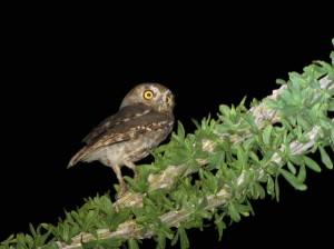 Elf Owl by Bryant Olsen