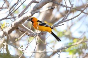Streak-backed Oriole by Dominic Sherony