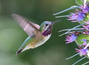 Calliope Hummingbird by Tom Benson