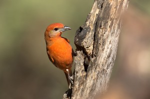 Hepatic tanager by Mick Thompson