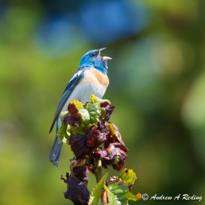 Lazuli bunting by Andrew Reding