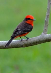 Vermillion flycatcher by Carol Foll