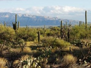 Rincon Mountains from Saguaro National Park by Megan McCormick