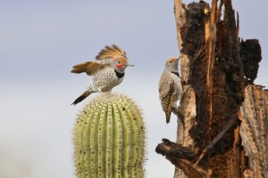 Gilded Flicker pair by Richard Fray
