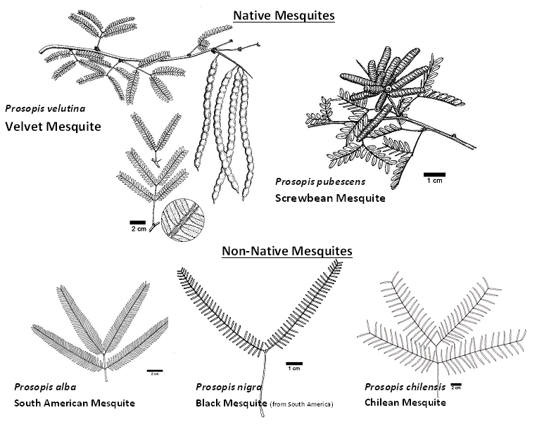 Guide to native vrs non-native mesquites