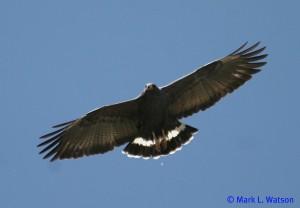 Common Black Hawk by Mark Watson