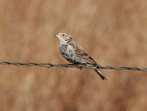 A Chestnut-collared Longspur perches on a fence at San Rafael Grasslands IBA (photo courtesy of Alan Schmierer).