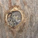 Elf Owl 0081 rnb 8092_jpg