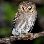 Elf Owl Hunting