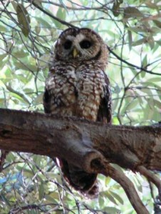 Spotted Owl in Patagonia Mountains