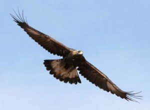 Juvenile Golden Eagle by Kenny Wilkins