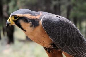 Aplomado Falcon by Jon Nelson