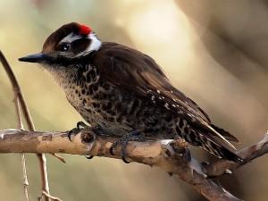 Arizona Woodpecker by Wayne Dumbleton