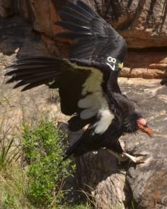 California Condor by Michael Quinn