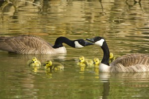 Canada Geese Family by Dan Hutcheson