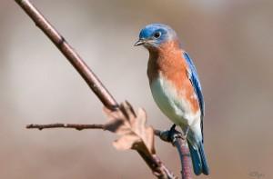 Eastern Bluebird by Kelly Colgan Azar