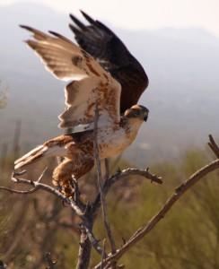 Ferruginous Hawk by Joshua Barnett