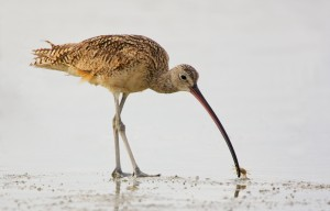 Long-billed Curlew with crab by Matthew Paulson