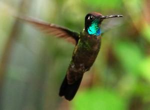Magnificent Hummingbird by Carol Foil