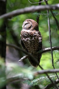 Mexican Spotted Owl by  Bruce Matsunaga