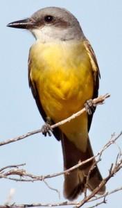 Tropical Kingbird by Bill Bouton